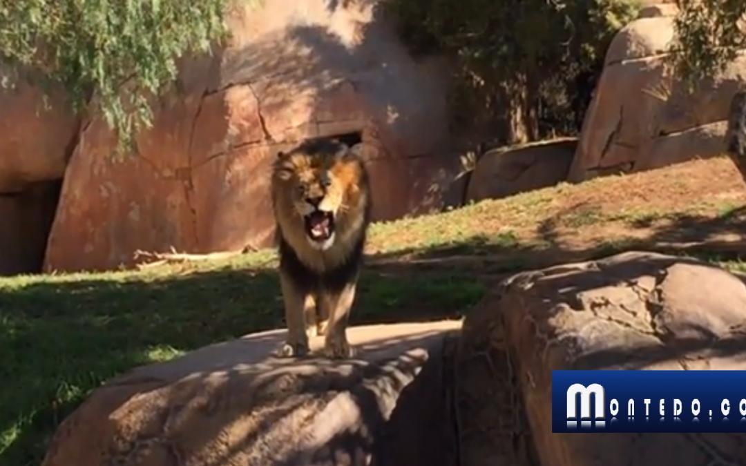 """A nova """"guerra"""" dos leões de alojamento!"""