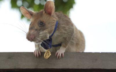 Magawa, o rato 'herói' que detecta minas terrestres se aposenta com honras no Camboja